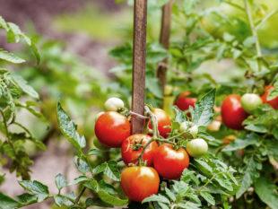 Tomates : pour de meilleurs produits et une culture efficiente
